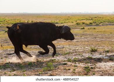 The African buffalo or Cape buffalo