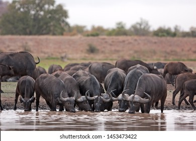 African buffalo, cape buffalo, syncerus caffer, Kruger national park