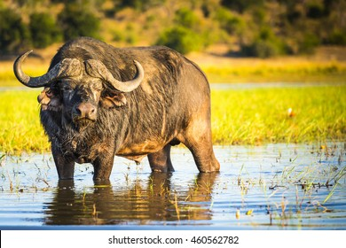 African Buffalo or Cape Buffalo in the wild on the Chobe River, Botswana