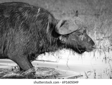African Buffalo or Cape Buffalo in the wild on the Chobe River, Botswana in black and white