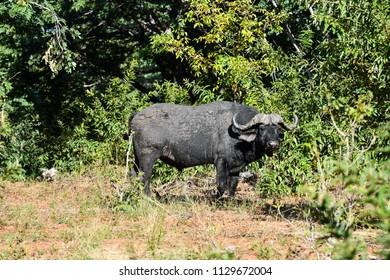 African buffalo in Chobe