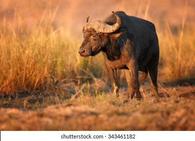 African buffalo coming to water on river bank Chobe river.