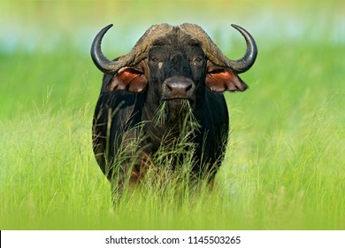 African Buffalo, Cyncerus cafer, standing on the river bank with green grass, Moremi, Okavango delta, Botswana. Wildlife scene from Africa nature. Big animal in the habitat.
