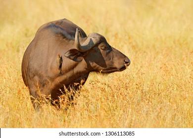African Buffalo, Cyncerus cafer, standing savannah with yellow grass, Moremi, Okavango delta, Botswana. Wildlife scene from Africa nature. Big animal in the habitat. Danger animal in Africa.