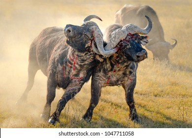 African buffalo fighting, bloody fight in Lake nakuru, Kenya. National park wildlife dusty blood fight during sunrise in morning light. Real animals bleeding fighting over territory