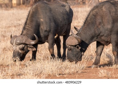 african buffalo grazing in the Kruger national park savanna south africa