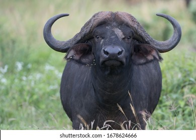 African buffalo looking at the camera, blurred green background