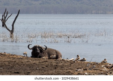 African Buffalo lying next to Lake Shore surrounded by Ducks