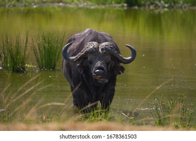African Buffalo from Masai Mara