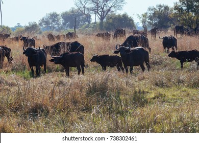 African Buffalo in nature