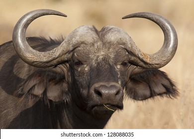 African buffalo, one of the Big Five, Serengeti National Park