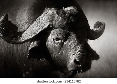 African buffalo portrait (Syncerus caffer) - Kruger National Park (South Africa)