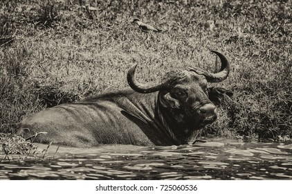 African buffalo in the Queen Elizabeth National Park, at the Kazinga Channel (Uganda)