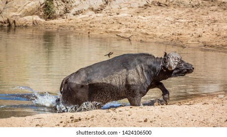African buffalo running out of waterhole in Kruger National park, South Africa ; Specie Syncerus caffer family of Bovidae