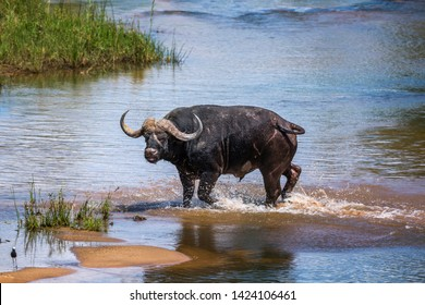 African buffalo running in river in Kruger National park, South Africa ; Specie Syncerus caffer family of Bovidae
