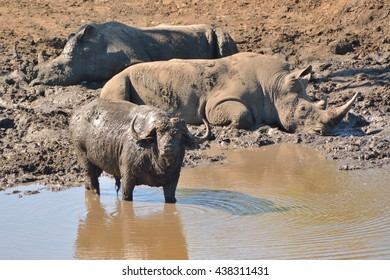 African buffalo seemingly standing guard while two African white rhinoceros steep in the mud at a remote waterhole