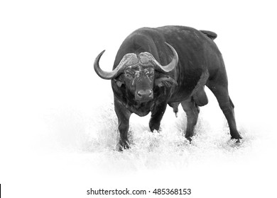 African buffalo, Syncerus caffer, dangerous male isolated on white background with touch of environment, artistic black and white photo. Leopard Mountains, Hluhluwe, KwaZulu-Natal, South Africa.