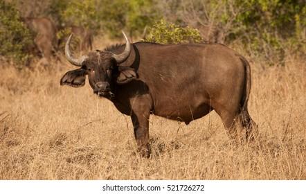 African buffalo (Syncerus caffer) Kruger National Park, South Africa