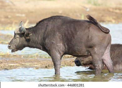 African buffalo (Syncerus caffer) in Queen Elizabeth National Park, Uganda