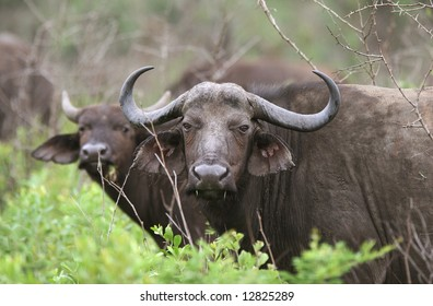 African buffaloes curiously looking at camera from the bush. Hluhluwe-Umfolozi National Park. Zululand. South Africa.
