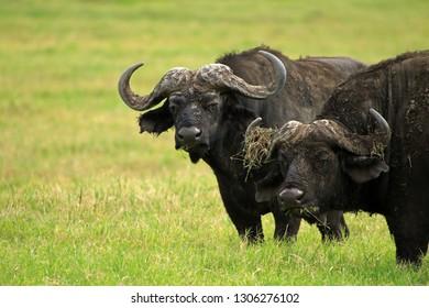 African buffaloes, Ngorongoro Conservation Area, Tanzania