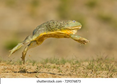 African bullfrog is carnivorous and a voracious eater, eating insects, small rodents, reptiles, small birds, and other amphibians. It is also a cannibalistic species.
