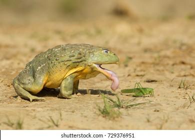 アフリカ産のブルカエルは肉食性で貪欲な食べ物で、虫、小齧歯類、爬虫類、小鳥類、その他の両生類を食べる。人食い種でもある。