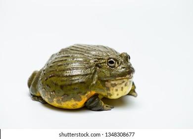 African bullfrog on white background.