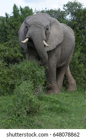 African Bush Elephant, Addo Elephant National Park, Eastern Cape, South Africa