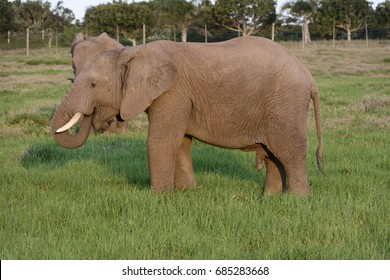 African Bush Elephant, Addo Elephant National Park, Eastern Cape, South Africa
