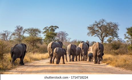 African bush elephant family walking rear view on safari road in Kruger National park, South Africa ; Specie Loxodonta africana family of Elephantidae