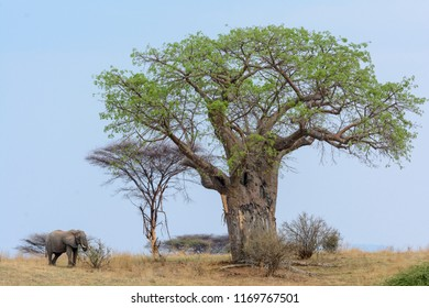 African bush elephant (Loxodonta africana) and Baobab, dead-rat tree, monkey-bread tree, upside-down tree or cream of tartar tree (Adansonia digitata). Ruaha National Park. Tanzania