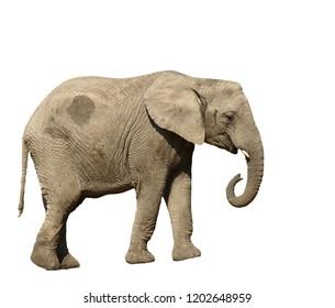 African bush elephant (loxodonta africana) isolated silhouette
