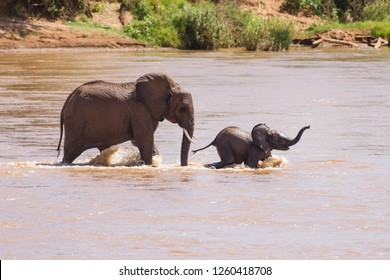 African bush elephant (Loxodonta africana) family crossing shallow river, Samburu National Reserve, Kenya, East Africa