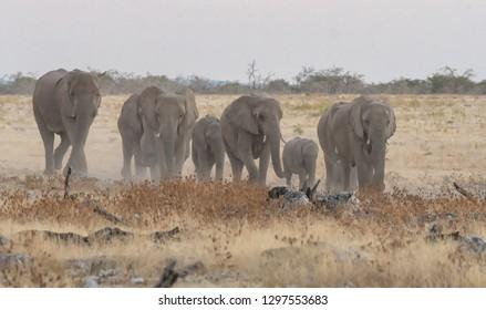 African Bush Elephant (Loxodonta africana) - Here We Come