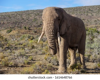 African bush elephant (Loxodonta africana) bull in typical Karoo habitat. Karoo, Western Cape, South Africa