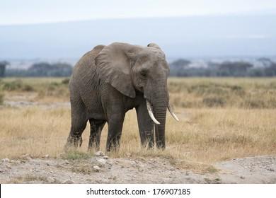 African bush elephant   (Loxodonta africana), Masai Mara National Reserve, Kenya