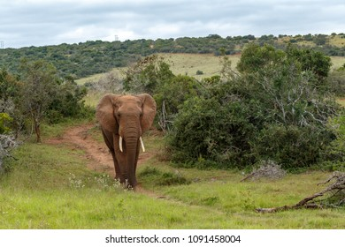 African Bush Elephant scrolling down the dusty foot path in the bushes.