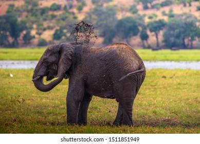 African bush elephant splashing mud with his trunk in Chobe National Park, Botswana.