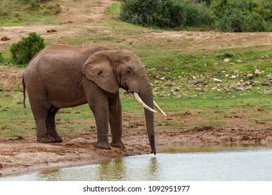 African Bush Elephant standing at the drinking hole for some water.