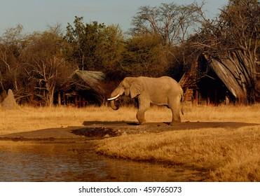 African Bush Elephant,Loxodonta africana, drinking at waterhole in african safari camp. Elephant against cottages in background.Hwange national park, Zimbabwe.