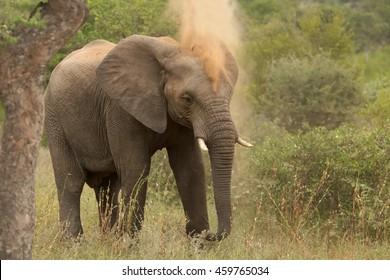 African Bush Elephant,Loxodonta africana, having a dust bath. South Africa, Timbavati game reserve.