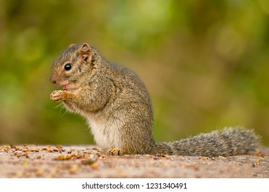The African bush squirrels are a genus, Paraxerus, squirrels of the subfamily Xerinae. They are only found in Africa. Aberdare National Park, Kenya.
