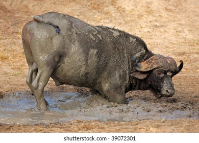 African or Cape buffalo bull (Syncerus caffer) taking a mud bath, South Africa
