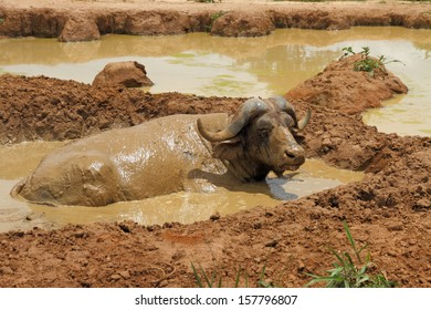 An african cape buffalo relaxes in a mud wallow to escape the flies.