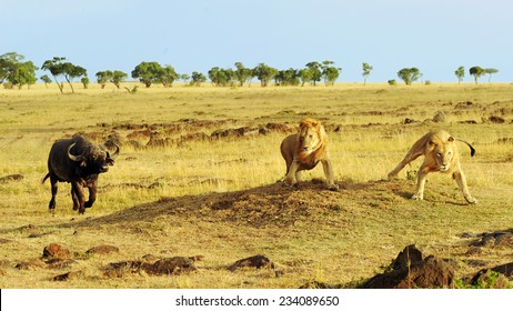 African Cape or Water Buffalo (Syncerus caffer) charges African Lions (Panthera leo) on the Masai Mara National Reserve safari in southwestern Kenya.