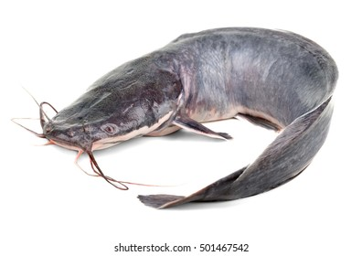 African catfish isolated on white backgound