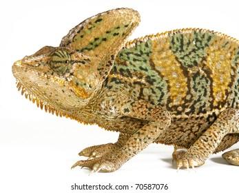 African chameleon on white background.