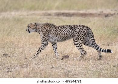 African cheetah crossing country road, Masai Mara National Reserve, Kenya, East Africa