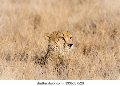 African cheetah hiding in wheat coloured scrub grass. Close-up of head poking up through grass with morning sunlight reflected in eyes. Soft focus background.